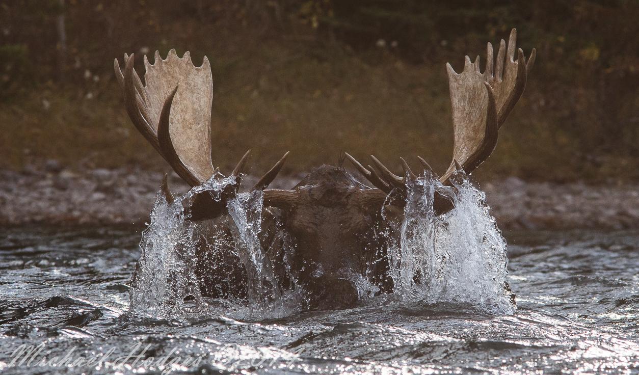 Moose Rising